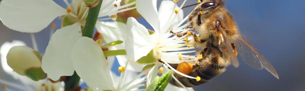 Bee on cherry blossom 1403010